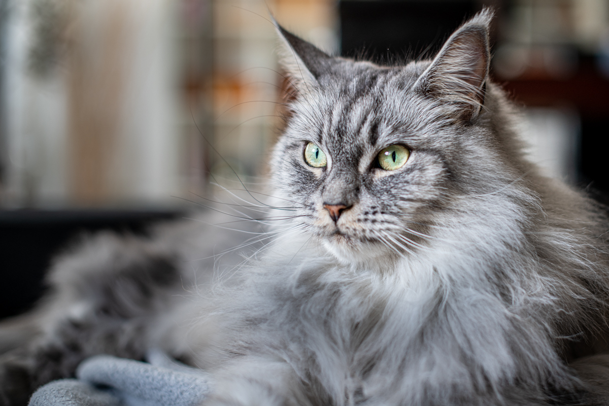 Leni – The Maine Coon Lady