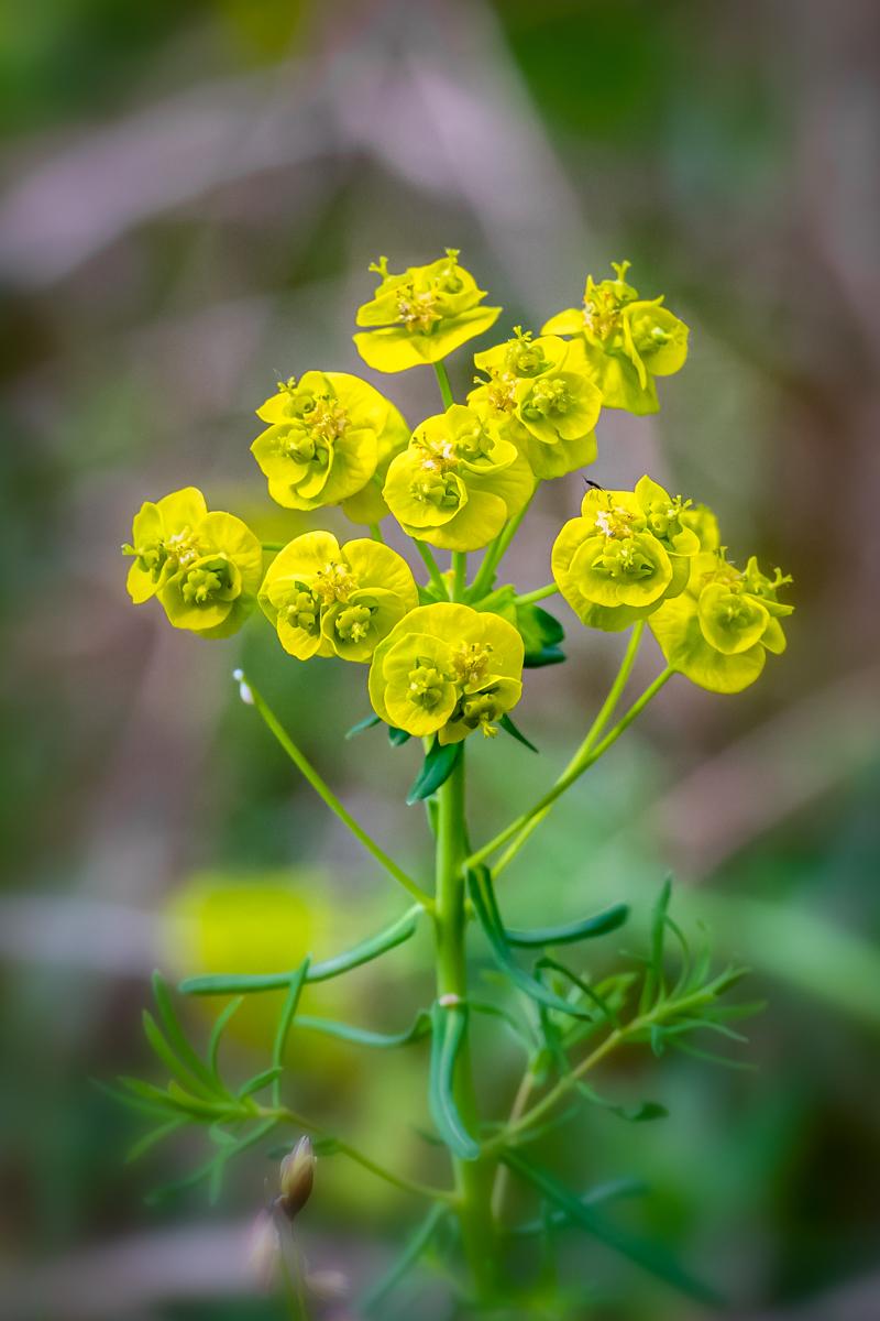 Euphorbia nicaeensis All