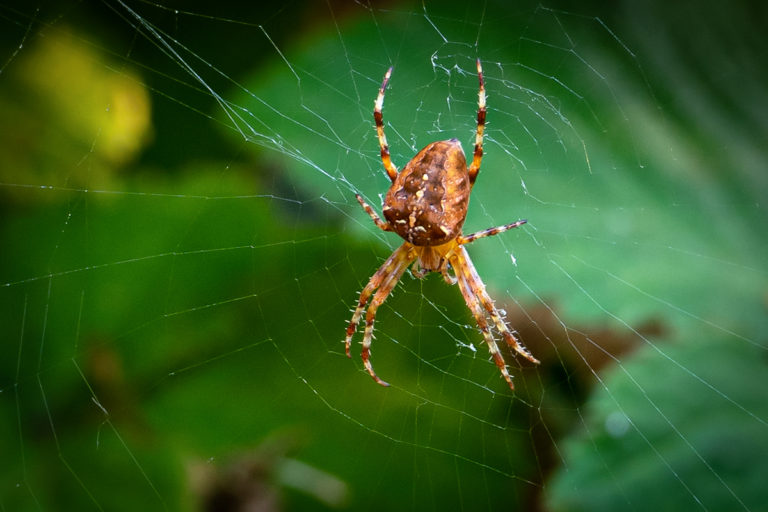 Araneus diadematus – Awaiting lunch to arrive