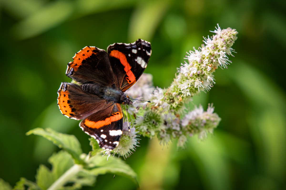 Vanessa atalanta – Enjoying the autumn sunshine